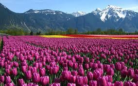flower garden pic hd greatindex net purple tulip field idolza