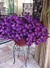 best 25 shamrock plant ideas on pinterest purple shamrock