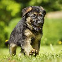what is a belgian sheepdog 6 fun facts about the belgian tervuren dog breed american kennel