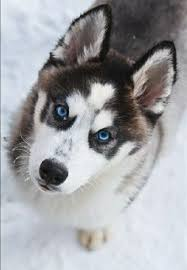 resume template accounting australian kelpie dog temperament by breed 10 week old siberian retriever huskador his name is indigo dog