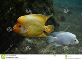 flower horn fish stock photos images u0026 pictures 214 images