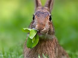 Rabbit Repellent For Gardens by How To Keep Rabbits Out Of Garden Best Expert Tips Every Gardener