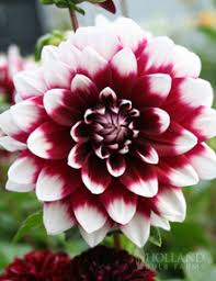 planting bulbs shop our selection of water lilies and