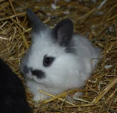 lion heads for sale baby lionhead rabbit solihull west midlands pets4homes