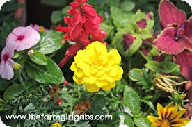 Marigolds Shade by Crazy About Container Gardening Www Thefarmgirlgabs Com