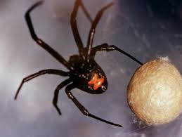 Black Widow Spiders Had A - black widow spiders