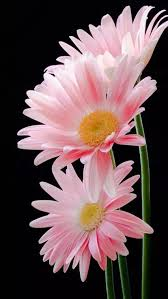 240 best f2 daisies images on pinterest flowers plants and