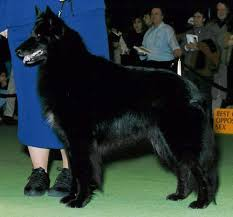 belgian shepherd national specialty bsca specialty results for 1998