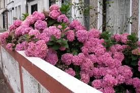 pink hydrangea how to find the best hydrangeas with pink flowers