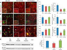 hyaluronidase and hyaluronan oligosaccharides promote neurological