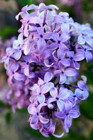 87 best gardens lilacs hydrangeas images on pinterest