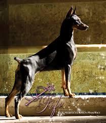 belgian sheepdog national specialty dog show 2012 07 29