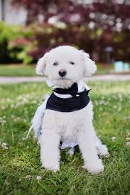 bichon frise virginia a st michael u0027s wedding fit for bichon frises married with bichons