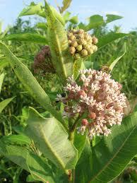 plants native to maryland maryland biodiversity project common milkweed asclepias syriaca