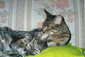 feline thyroid clinic faq