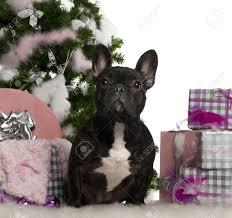 french bulldog 1 year old with christmas tree and gifts in