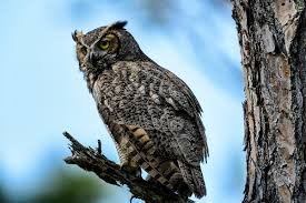 great horned owl bubo virginianus siting on tree branch