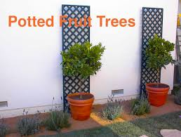 Potted Patio Trees by Potted Fruit Trees For Small Yards Eden Makers Blog By Shirley