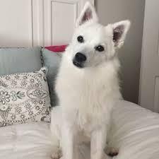 american eskimo dog tricks american eskimo dog google search f l u f f pinterest