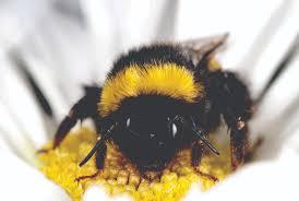 honeybees linked to new diseases in wild bees
