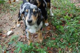 australian shepherd beagle mix zeke the beagle aussie puppy u0027s web page