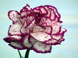 Purple Carnations Single Purple Carnation Large Flowered Carnations Wallpapers13 Com