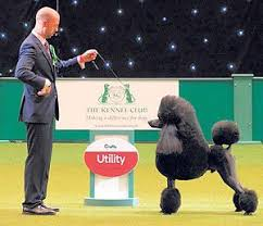 boxer dog crufts 2015 168 best dog shows images on pinterest animals dogs and dog breeds