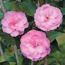 Fragrant Indoor House Plants - camellia u0027high fragrance u0027 to 5 u0027 this fragrant indoor plant has