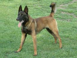 belgian sheepdog and cats belgian malinois history personality appearance health and pictures