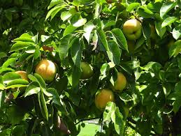 What Fruit Trees Grow In Texas - what kind of fruit tree is this pictures