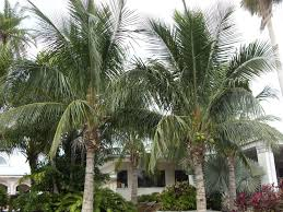 wesley chapel palm and tree sales wesley chapel lawn care