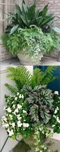 australian native shade plants kangaroo paw bush pearl best australian native plants for pots and