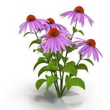 echinacea flower 3d echinacea cgtrader