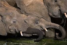 will mobilization of military forces stop elephant poaching in