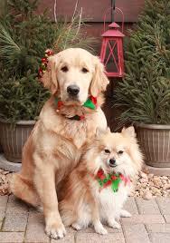 155 best golden retriever christmas images on pinterest golden