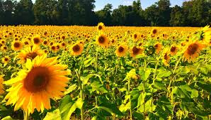 clear meadow farms sunflower fields and the end of summer