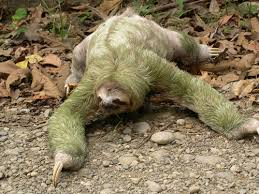 4 toed sloth wildlife of the rainforest f