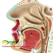 Neck Cross Sectional Anatomy Human Ent Physiology Nasal Cross Section Anatomy Model Of Nose