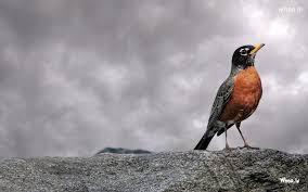 bird wallpaper brown bird wallpaper hd