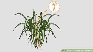 how to care for a spider plant 11 steps with pictures wikihow