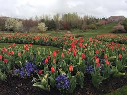 big crowds expected for thanksgiving point s annual tulip festival