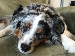 australian shepherd new hampshire mini aussie rescue u0026 support home facebook