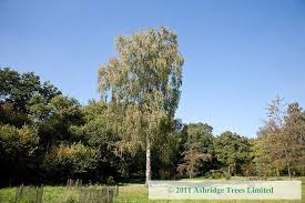 buy silver birch trees betula pendula standards guaranteed