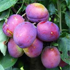 plum trees damson trees gage trees for sale