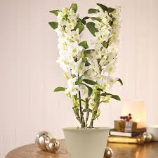 dendrobium orchid scented denrobium orchid rainbow flowers gifting