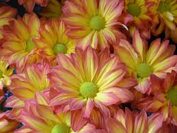 Fall Flowers Daisy Mums Hgtv