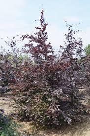 fagus sylvatica fagus sylvatica u0027atropunicea u0027