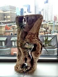 driftwood with air plants terrariums pinterest air plants