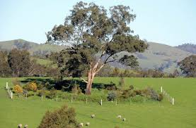 paddock trees project strath creek landcare