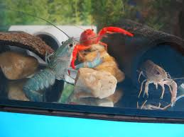 keeping lobsters as pets petful